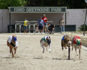 Magnificent greyhounds racing at the Ebro Greyhound Park in Ebro, Florida.