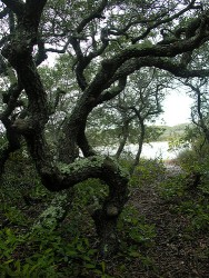 Sand live oaks like this one in Grayton Beach State Park in Grayton Beach, Florida can live several hundred years.